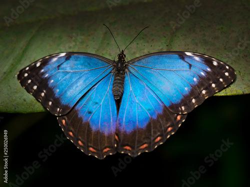 Obraz na plátně Blue morpho (morpho peleides) on green nature background, close-up