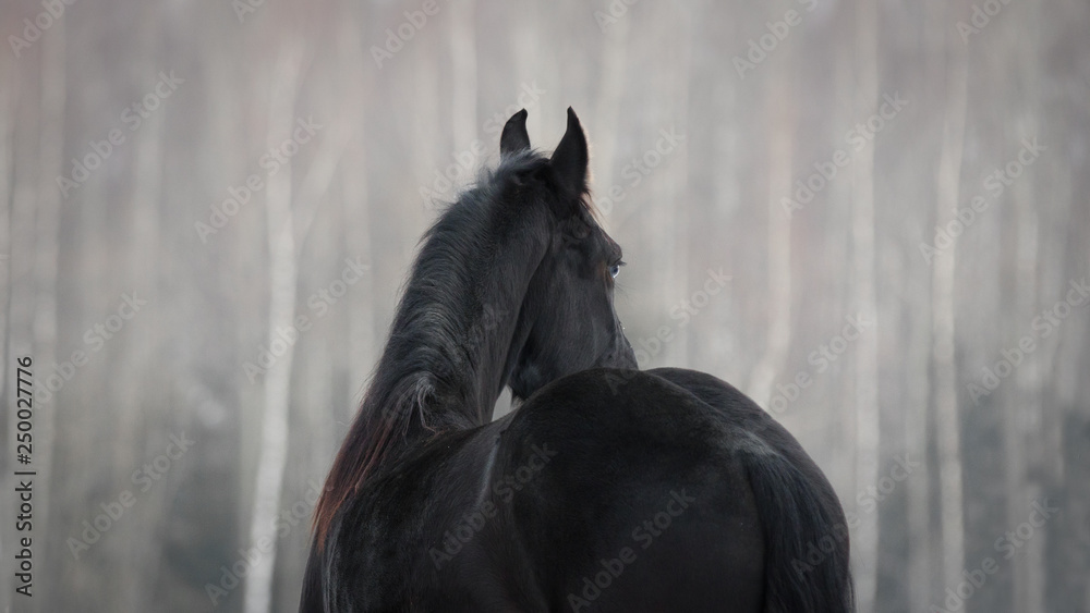 Fototapety, obrazy: Black friesian horse on the white snow-covered field background in the winter. Back side view.