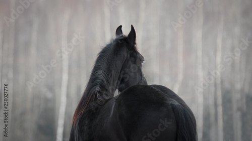 Autocollant pour porte Chevaux Black friesian horse on the white snow-covered field background in the winter. Back side view.