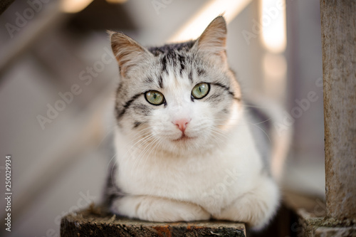 Fotografía  Cute gray and white cat with the light green eyes lying on the wooden board and