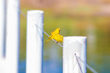 Two Yellow Birds In Nature