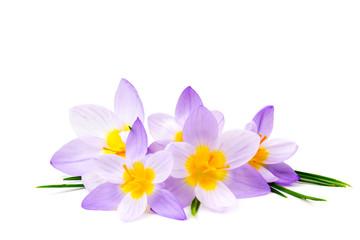 krokus - jeden z pierwszych wiosennych kwiatów