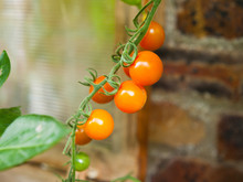 Sungold Cherry Tomatoes In The Glasshouse -  Homegrown Delicious Vegetables .