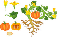 General View Of Pumpkin Plant ...