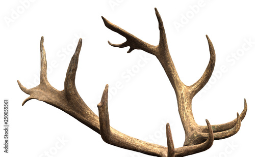 Obraz na płótnie Large antler maral deer on a white background, isolate, horn
