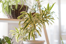 Fresh Leaves Spider Plant Pot ...