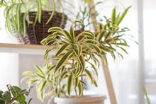 Fresh Leaves Spider Plant Pot ...