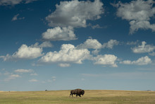 Buffalo Grazing In South Dakota Grassland