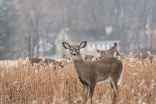 Heard Of White-tailed Deer (Odocoileus Virginianus) Grazing In Field, Pennsylvania