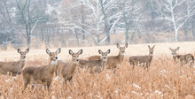 Herd Of White-tailed Deer (Odocoileus Virginianus) Grazing In Field, Looking At Camera, On Cold Day In Winter.