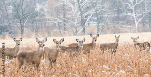 Fotografie, Obraz  Herd of white-tailed deer (Odocoileus virginianus) grazing in field, looking at camera, on cold day in winter