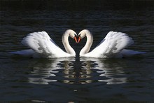 Love Swans While Curling