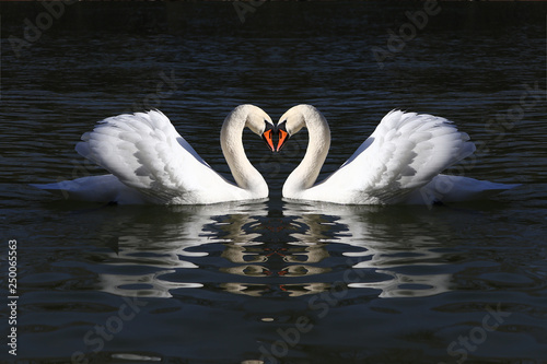 Poster Cygne love swans while curling