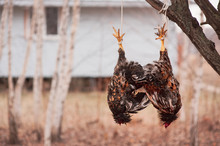 Slaughter Chicken Hanging On A Rope