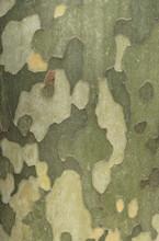 Bark Of The Sycamore Tree