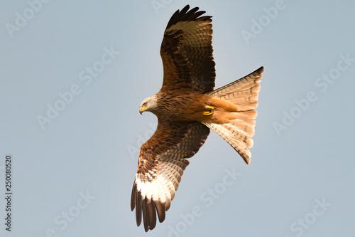 Photo  Awesome bird of prey in flight