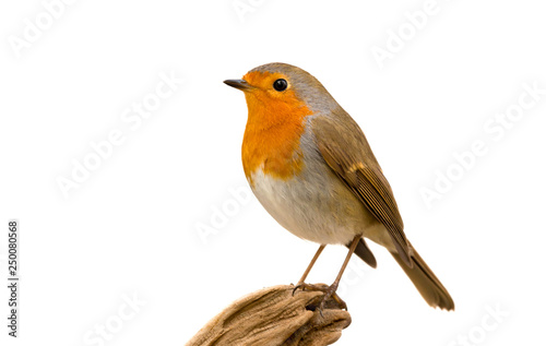Photo sur Toile Oiseau Beautiful small bird