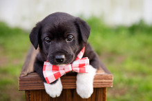 New Border Collie Lab Puppy Ou...