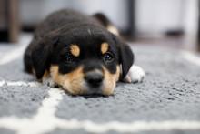 New Border Collie Lab Puppy In...
