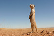 canvas print picture - suricate guard standing upright