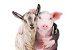 Portrait of a goat and a pig embracing each other isolated on white background