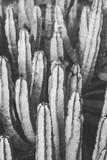 plakat przyrodniczy. kaktus. czarny i biały - 250085972