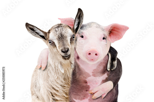 Fotografia  Portrait of a goat and a pig embracing each other isolated on white background