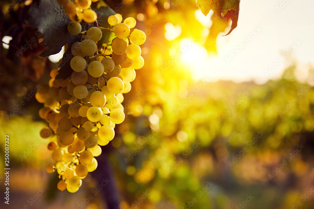 Fototapety, obrazy: The yellow grapes on a vineyard with sunlight at sunset