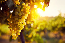 The Yellow Grapes On A Vineyar...