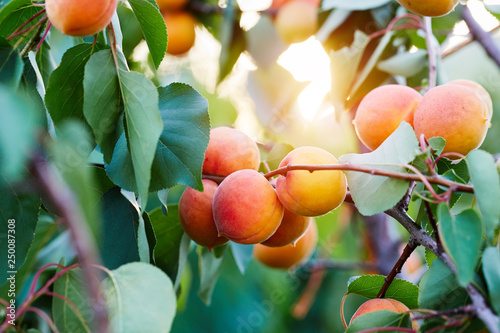 Foto A bunch of ripe apricots on a branch
