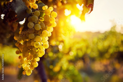 Poster Wijngaard The yellow grapes on a vineyard with sunlight at sunset