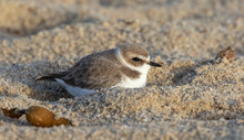 Snowy Plover Sheltered In Sand On A Windy Day At Carmel River Beach, Carmel, California