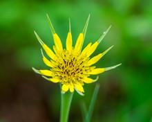 Salsify Wildflower Green Background