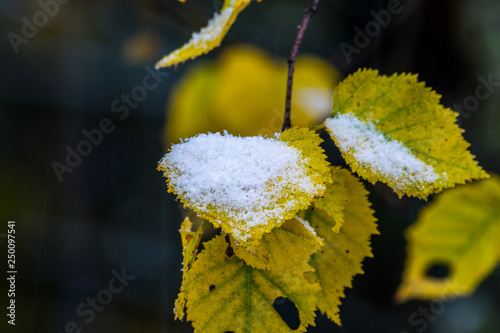 Snow on yellow leaves in winter