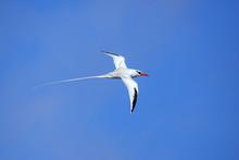 Red-billed Tropicbird In Fligh...