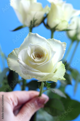 Fotografía  Beautiful bright tender white rose in female hand on blue background close up fo