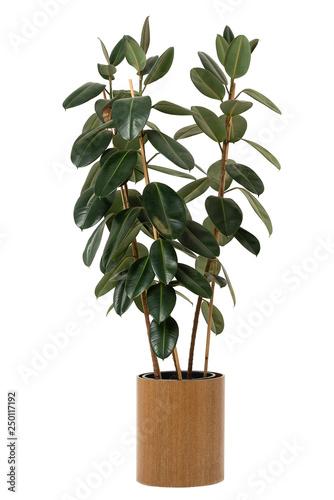 Fototapeta Large indoor green flower Ficus