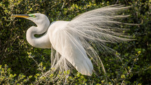 Nesting Egrets Of South Carolina