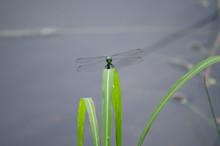 Eastern Pondhawk Dragonfly On ...