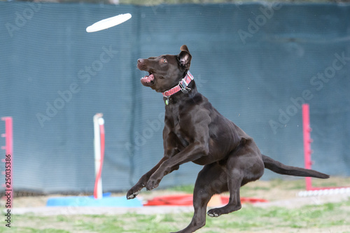 Photo  Chocolate Lab dog coming down after missing a disc