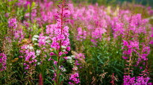 Pink Fireweed Growing Along Th...