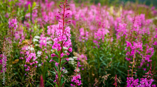 Pink fireweed growing along the Dempster Highway in the Yukon - 250135930