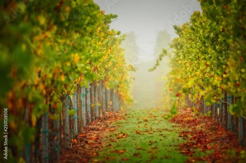 Spoed Foto op Canvas Wijngaard Chardonnay Harvest Colors