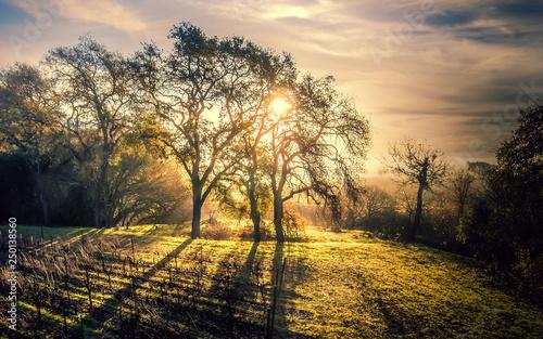 Canvas Prints Honey Sun Rays on the Vineyards