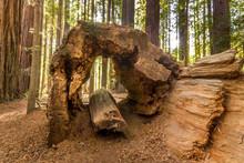Hollow Dead Redwood Tree, Redwood National Park