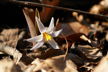White Trout Lily (or White Fawnlily) Is An Early Spring Wildflower Blooming On The Forest Floor Among Fallen Leaves In Dallas, Texas
