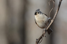Tufted Titmouse Perches On A B...