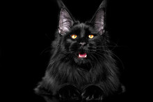 Beautiful Black Maine Coon Kitten On Black Background In Studio, Isolated.