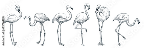 Obraz Flamingo in various poses, vector sketch illustration. Tropical birds hand drawn print design elements set - fototapety do salonu