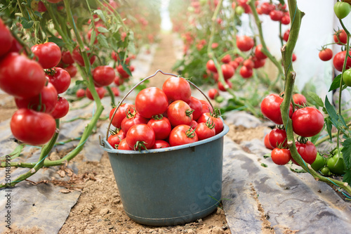 Fotografia Bucket of red tomatoes at greenhouse on farm